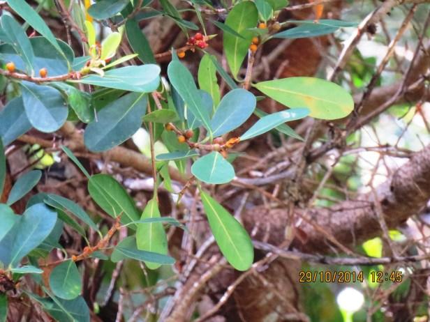 Ficus spathulifolia IMG_0069.JPG