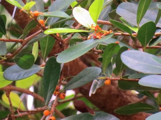 Ficus spathulifolia IMG_0075.JPG