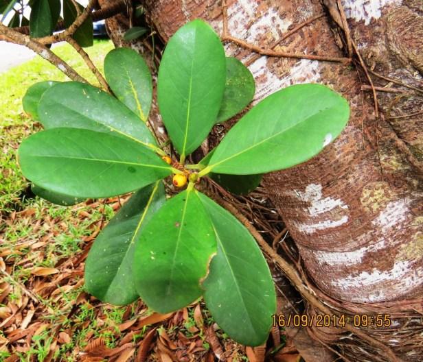Ficus spathulifolia IMG_0245 - Copy.JPG