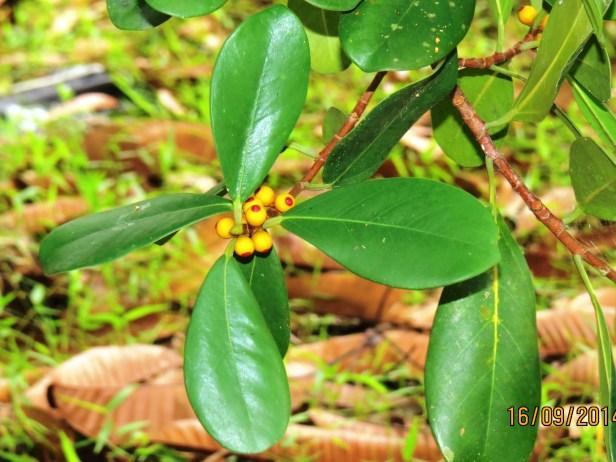Ficus spathulifolia IMG_0281 - Copy.JPG