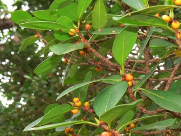 Ficus spathulifolia IMG_0286 - Copy.JPG