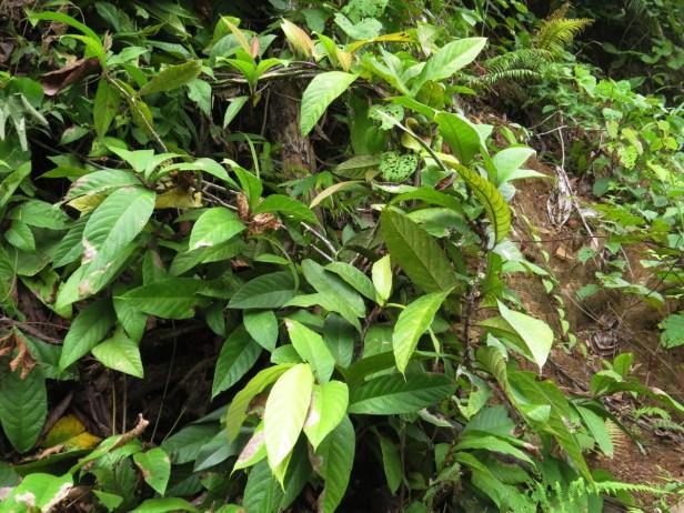 Ficus spiralis IMG_0797 - Copy.JPG