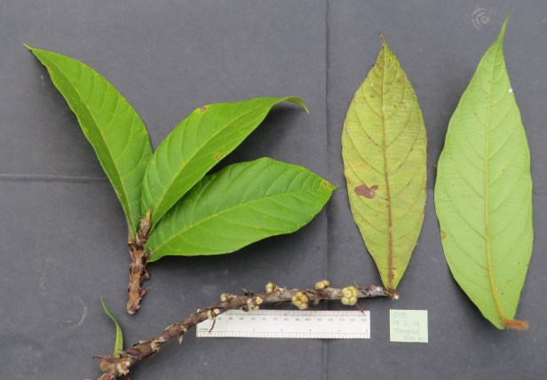 Ficus spiralis IMG_0803.JPG