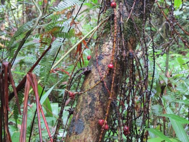 Ficus stolonifera IMG_1772 - Copy.JPG