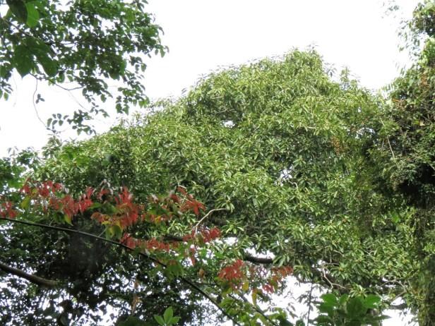 Ficus stupenda Crocker Range 03 IMG_3216.JPG