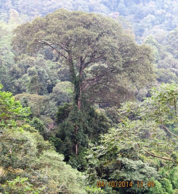 Ficus stupenda IMG_0156.JPG
