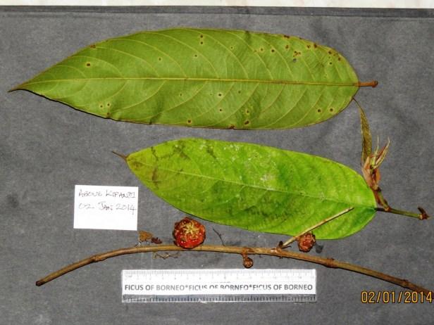 Ficus subterranea 7510  Copy.JPG