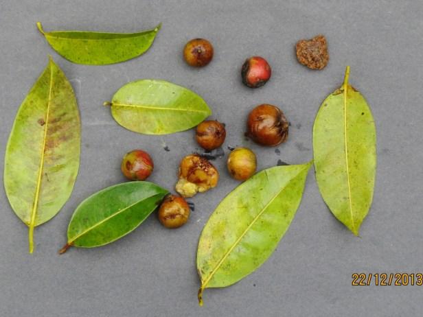 Ficus sumatrana IMG_6629 - Copy.JPG