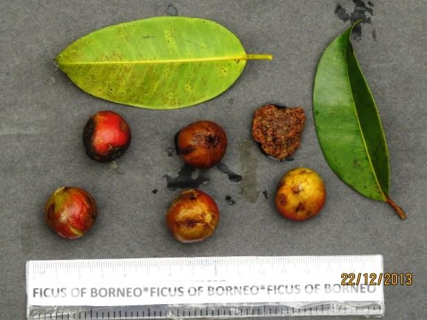 Ficus sumatrana IMG_6639.JPG