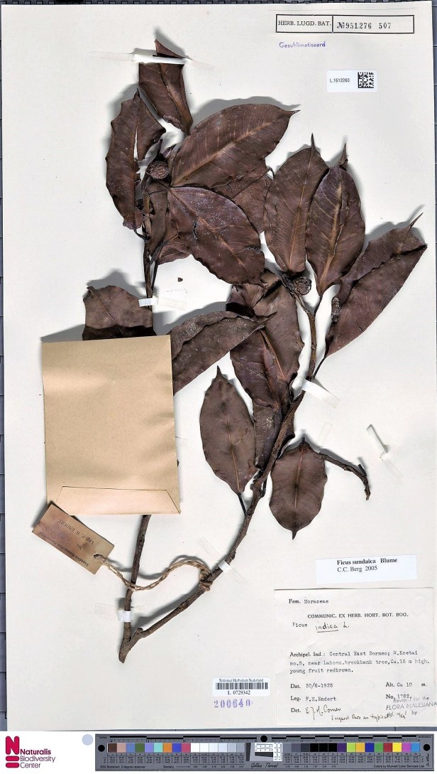 Ficus sundaica Form A Kutai.jpg