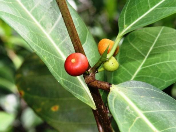 Ficus tinctoria IMG_9632.jpg