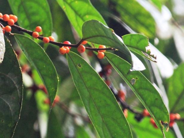 Ficus unigladulosa IMG_6152 - Copy.JPG