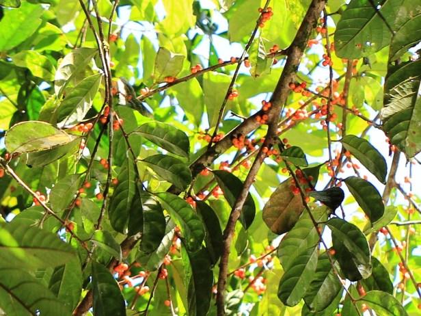 Ficus uniglandulosa HP IMG_7023 - Copy.JPG