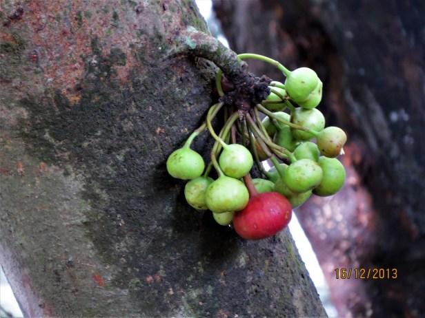 Ficus variegata IMG_4100.JPG