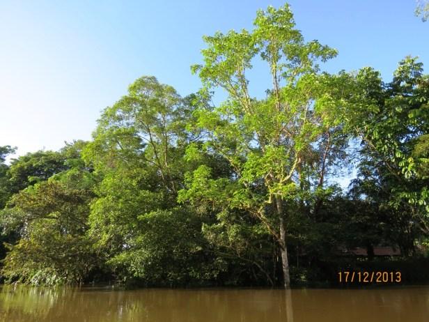 Ficus variegata IMG_4655 - Copy.JPG