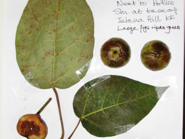Ficus variegata IMG_9494 -.JPG