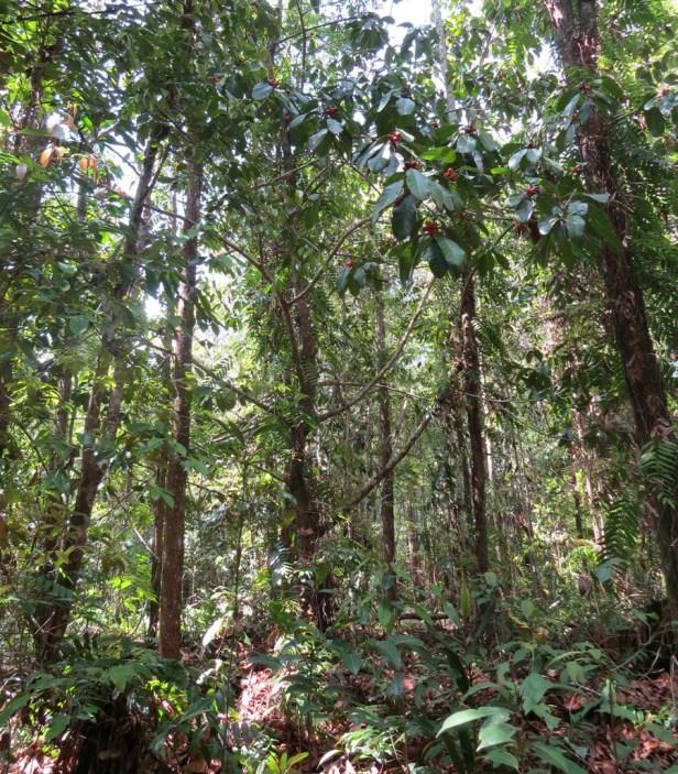 Ficus xylophylla IMG_3175 - Copy.JPG