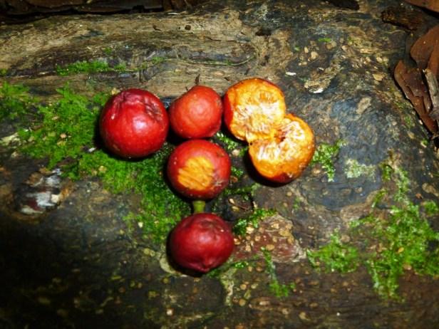 Moraceae Ficus trichocarpa fruits 3.JPG
