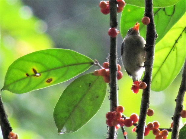 Plain flowerpecker IMG_2699.JPG