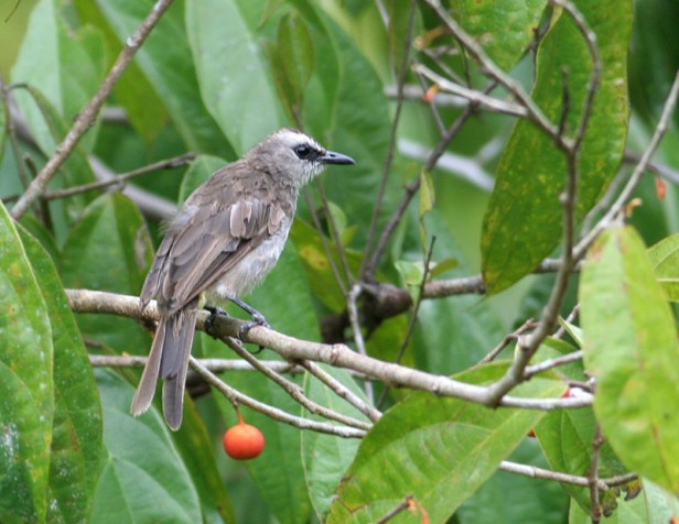 Yellow-vented bulbul on F parietalis Peter E .jpg