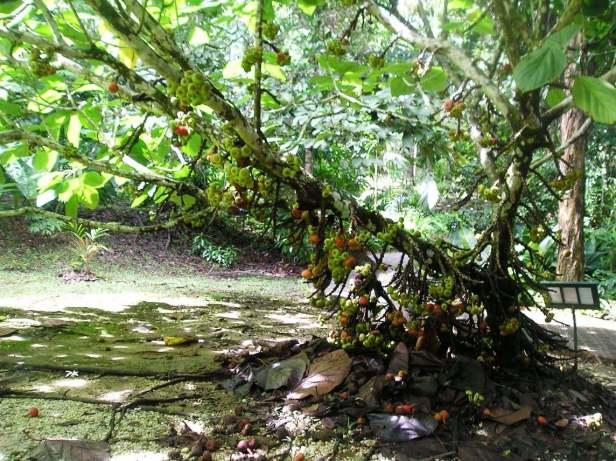 Ficus auriculata Sepilok -01.jpg