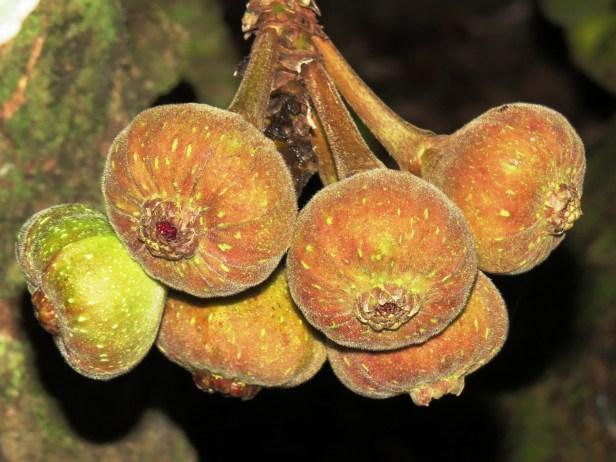 Ficus auriculata Sepilok -07.JPG