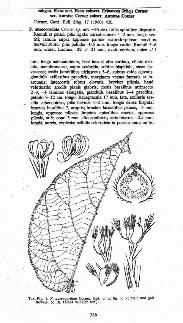 Ficus aurocordata CORNER.jpg