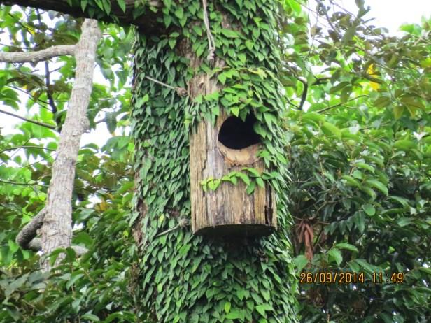 Ficus barba-jovis IMG_0200.JPG