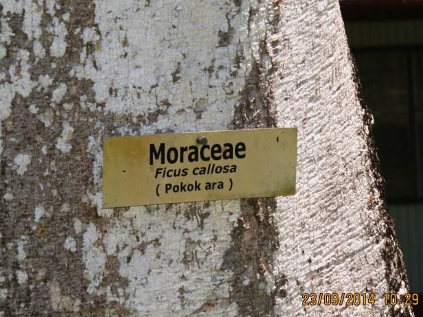 Ficus callosa IMG_0257.JPG