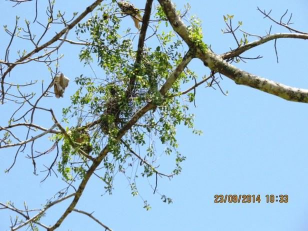 Ficus callosa IMG_0283 - Copy.JPG