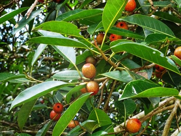 Ficus dubia DSC00625 - Copy.JPG