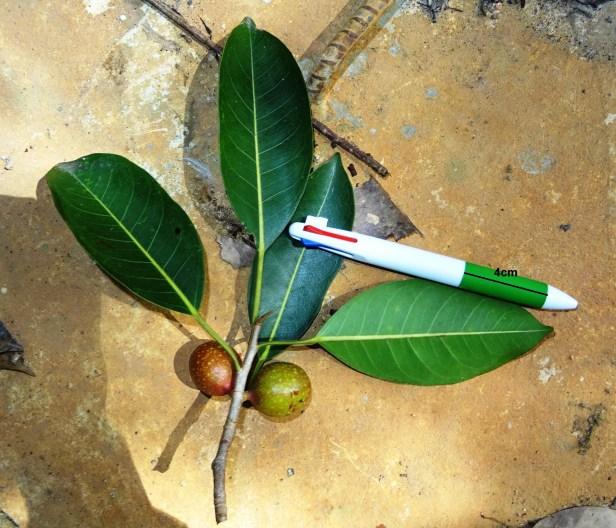 Ficus dubia DSC00627 - Copy - Copy.JPG