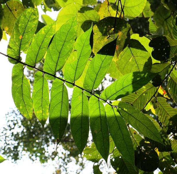 Ficus malayana 3P7A0861 - Copy.JPG