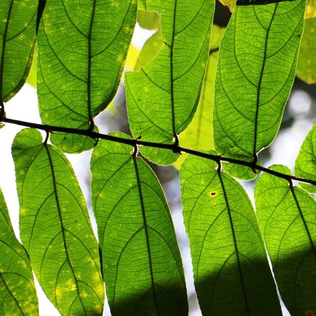 Ficus malayana Ulu2 3P7A0864 - Copy.JPG