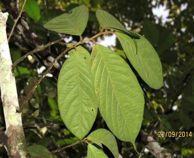 Ficus treubii  IMG_0001 - Copy.JPG