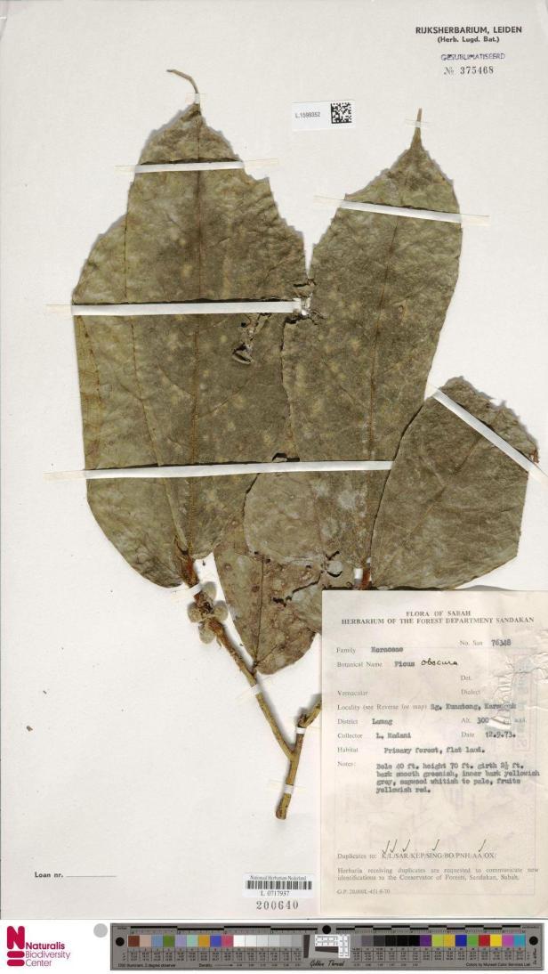 L.1599352 Karamuak OBSCURA.jpg
