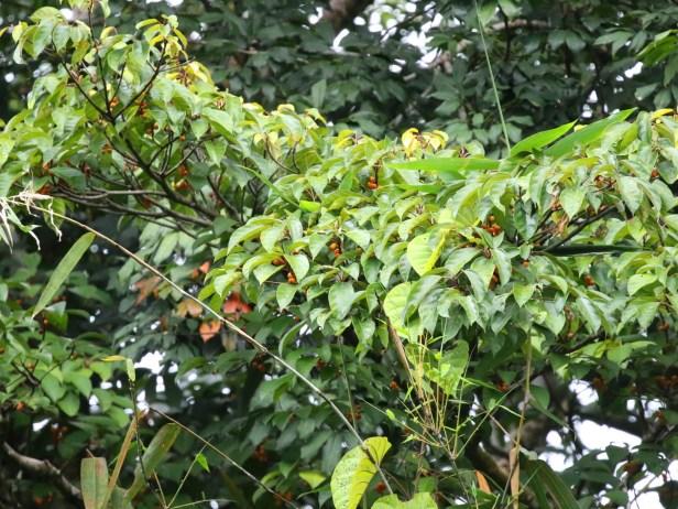 Ficus glandulifera Arlene 03  01 enhanced .JPG