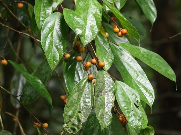 Ficus parietalis Bulit Patoi Arlene 02.JPG