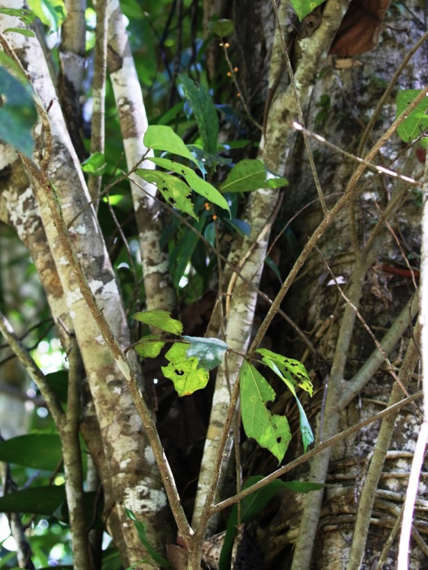 Ficus scabberima Bukit Patoi Arlene 08.JPG