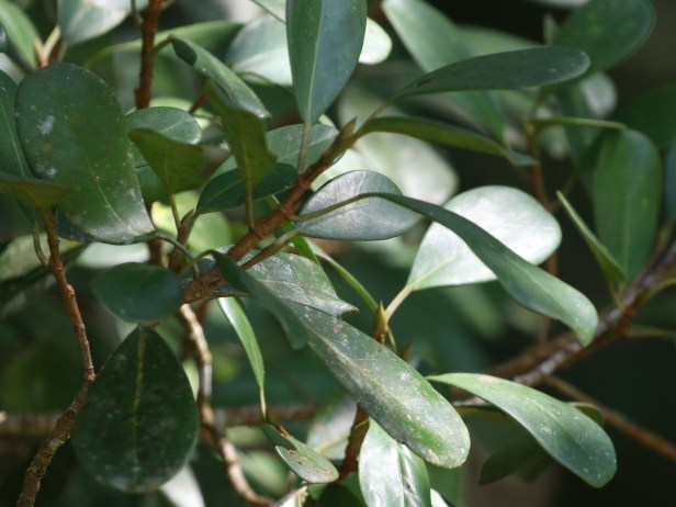 Ficus spathuliifolia Batang Duri Arlene 02.JPG