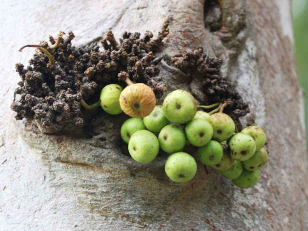 Ficus variegata Bangar Padang Brunei 02.JPG