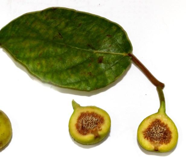 Ficus variegata Bangar Padang Brunei 06.JPG