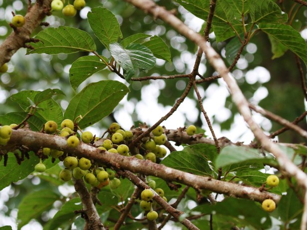 Ficus variegata Bangar Padang Brunei 07.JPG