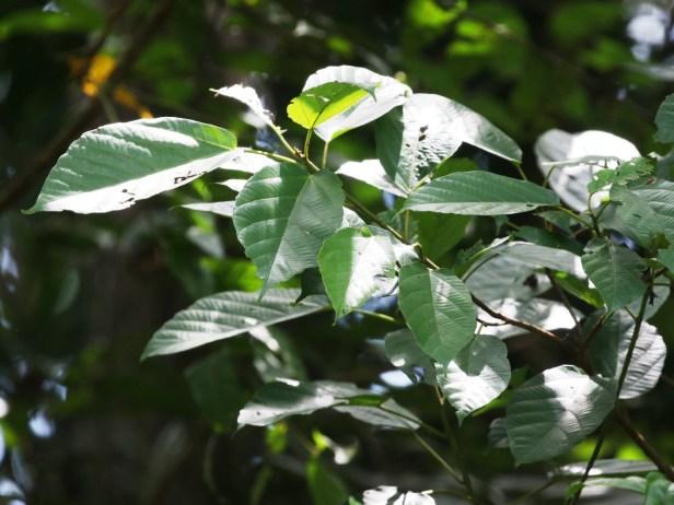 Ficus variegata Semabat Walshe 04.JPG