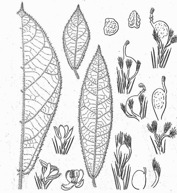 Ficus aurata Corner  (1970) - Copy.jpg