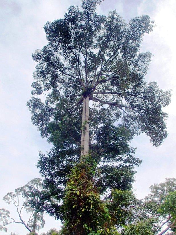 Ficus cucurbitina Maliau Basin Study Centre, 02.JPG