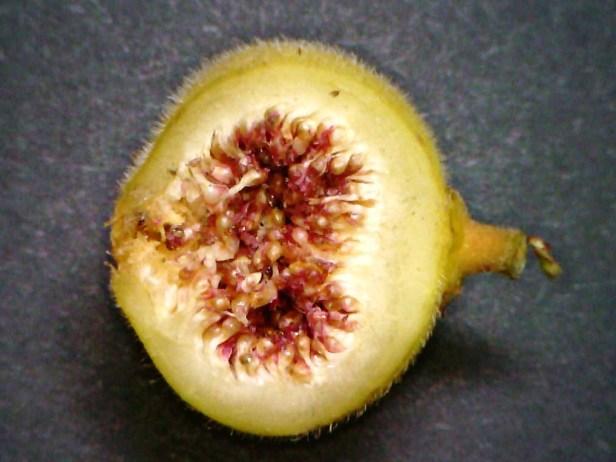 Ficus fulva 05.jpg