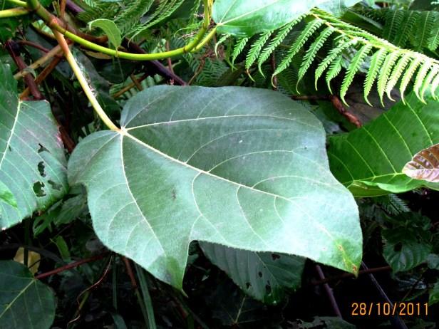 Ficus fulva Poring 05.JPG