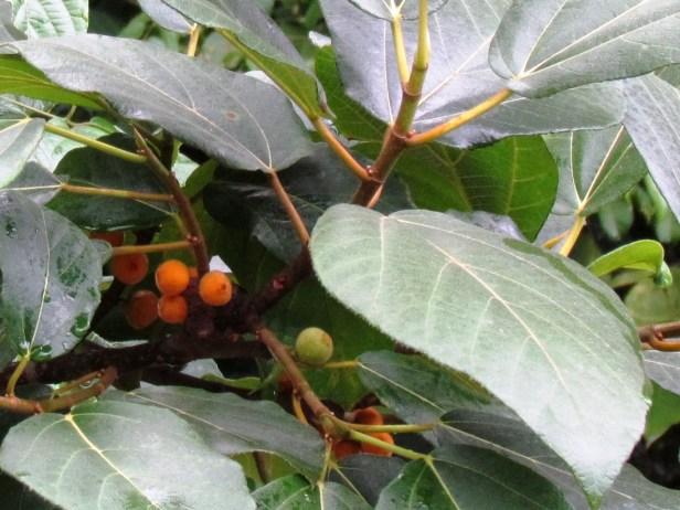 Ficus fulva Poring 06.JPG