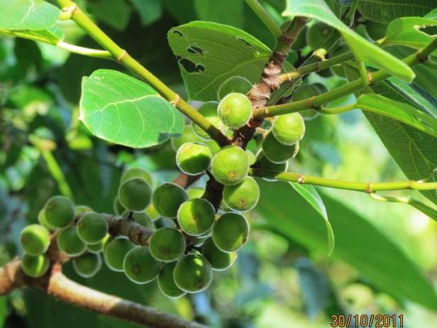 Ficus fulva Ranau 03.JPG
